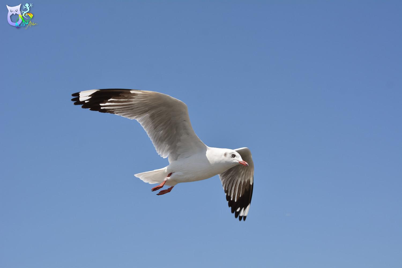 Brown-headed_Gull_2956