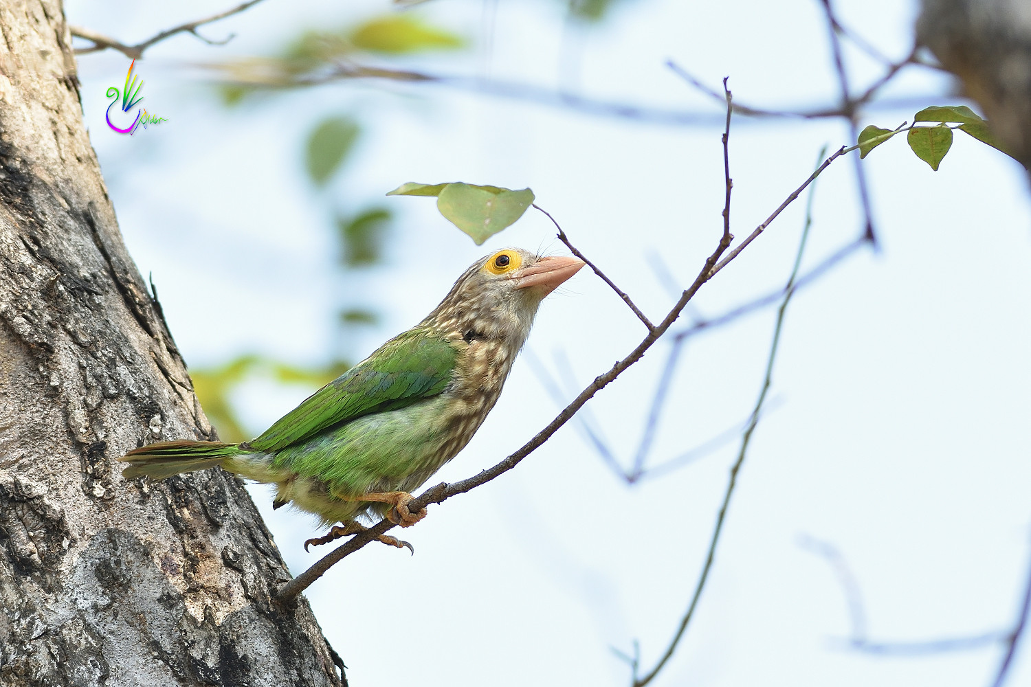 Lineated_Barbet_6133