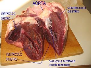 cuore bovino sezione longitudinale dei ventricoli