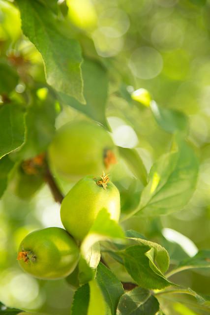 Garden - Baby Green Apple