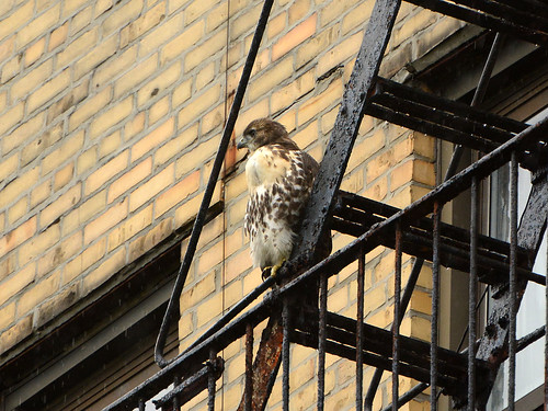Wright Park Hawk Fledgling - 3332