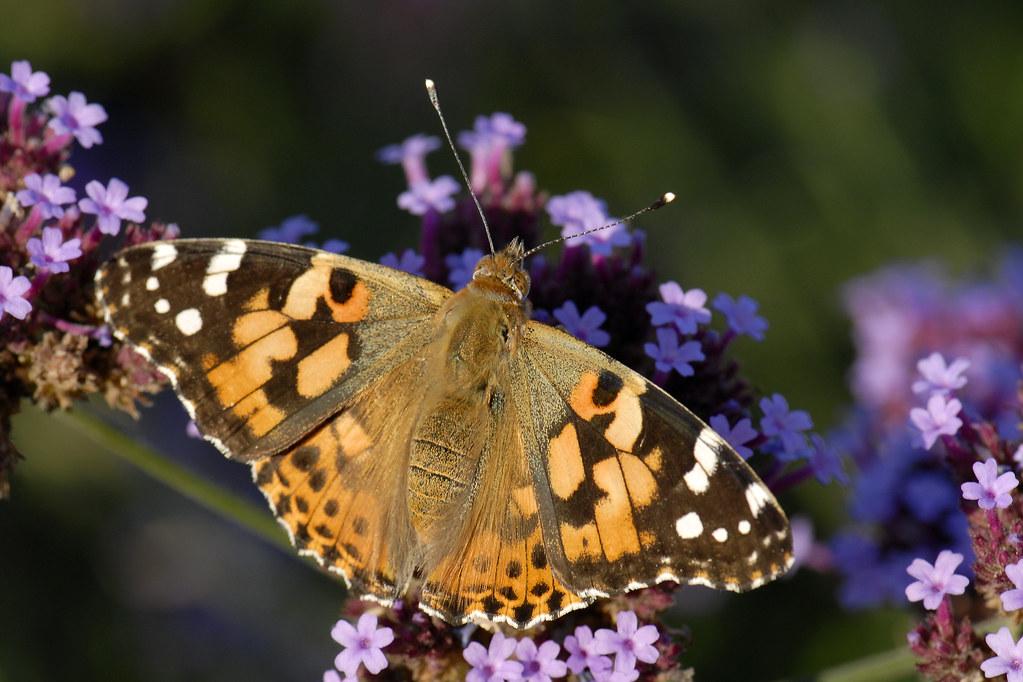 papillon belle dame vanesse du chardon france olivier brosseauterra