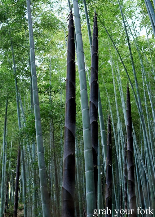 Bamboo shoots in the bamboo grove at Arashiyama, Kyoto, Japan