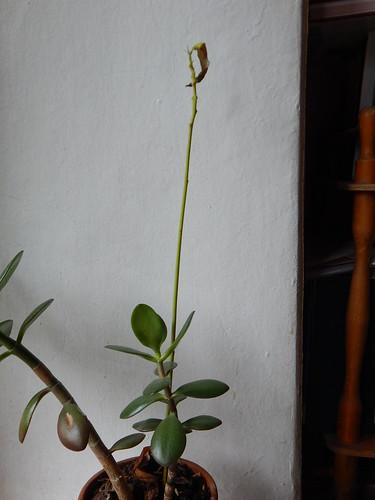 несчастное авокадо в одном горшке с денежным деревом   horoshogromko.ru