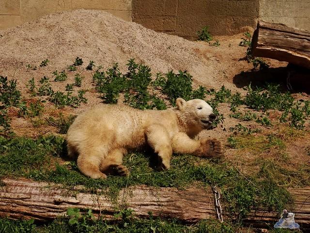 Eisbär Fiete im Zoo Rostock 20.06.2015  63