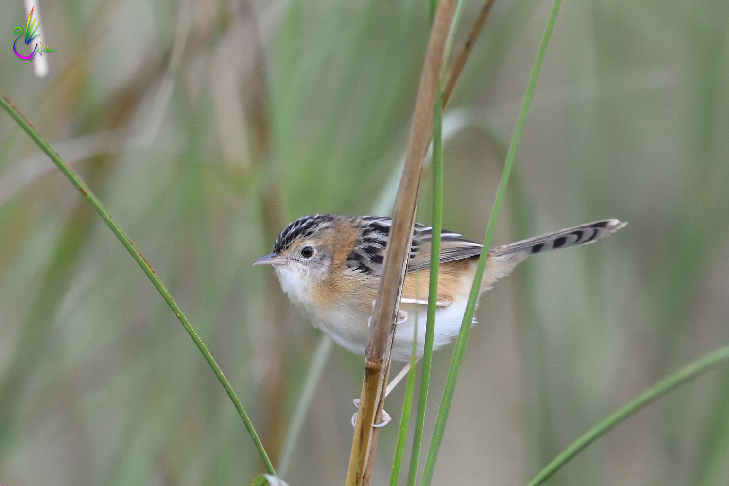 Golden-headed_Cisticola_7717
