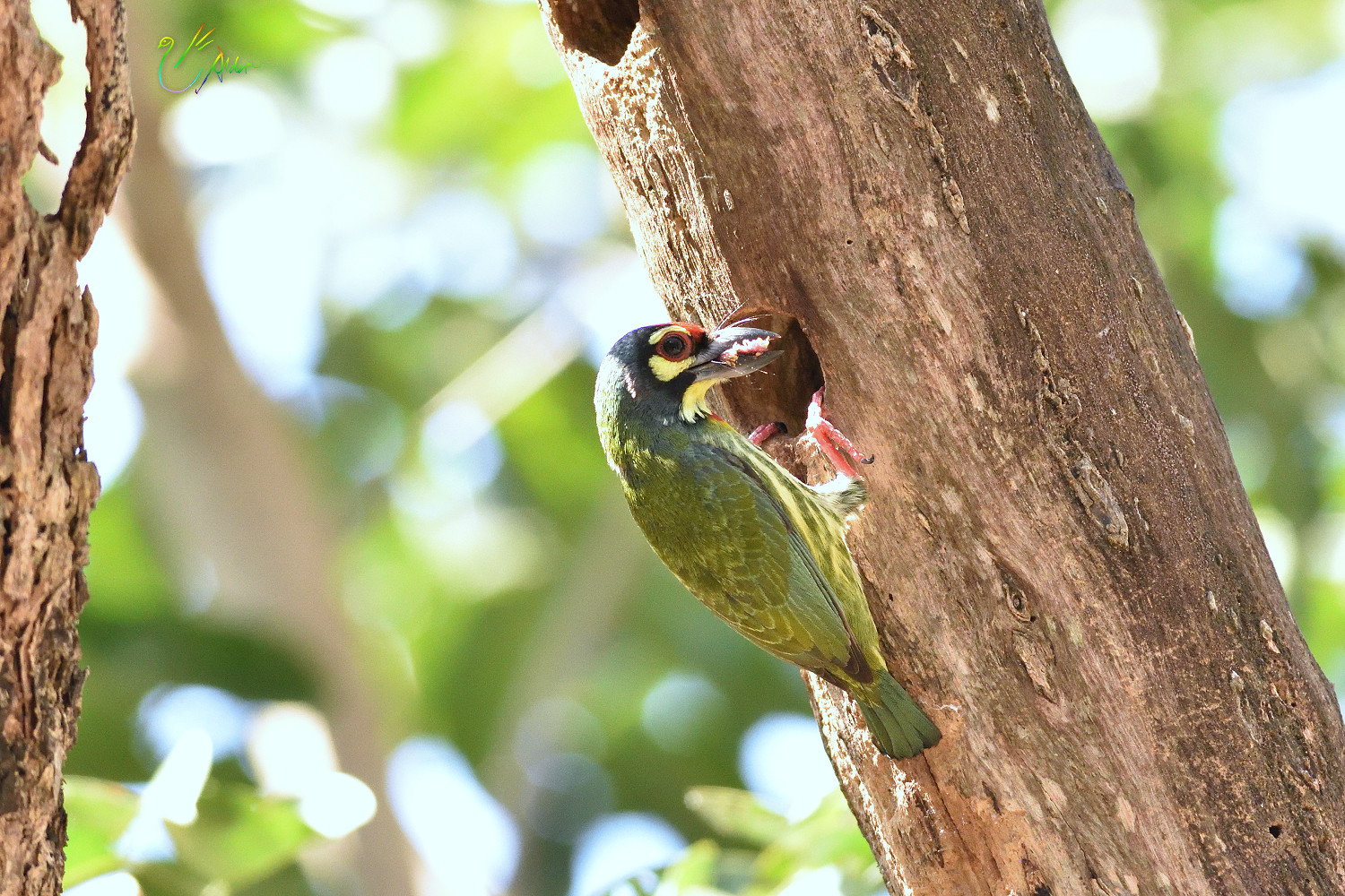 Coppersmith_Barbet_9106