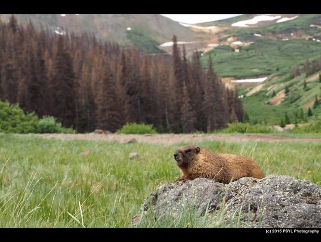 Yellow-bellied marmot (Marmota flaviventris)