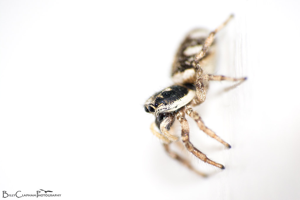 Zebra spider, macro, Raynox DCR-250, Nikon D7100, 70-300mm