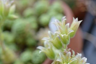 DSC_0016 Rosularia chrysantha ロスラリア・クリサンサ
