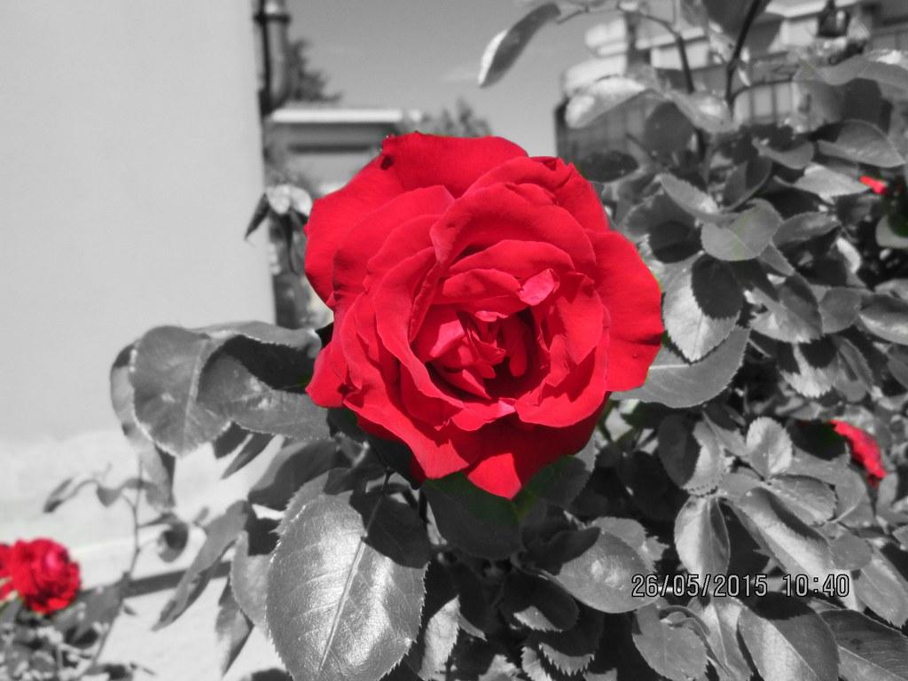 Rose rosse con sfondo in bianco e nero pietro liotta for Sfondi bianco e nero tumblr