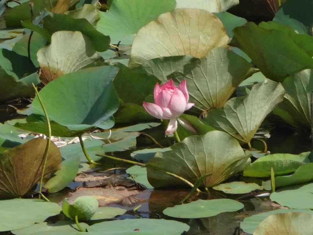 Lotus Flower National Flower Of Vietnam Lotus Flower Or Flickr