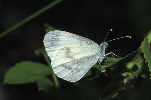 Wood White 9606