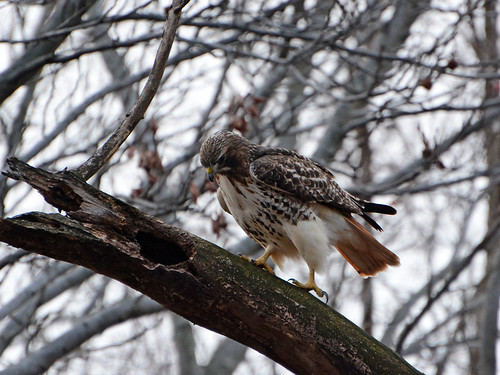 Riverside Red-Tail - 1030