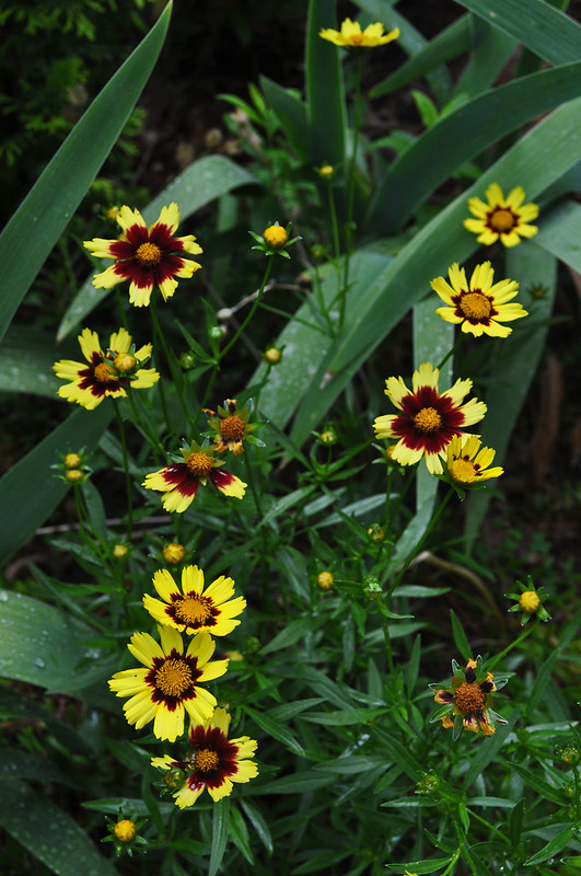 Coreopsis x 'Cosmic Eye'  (1)