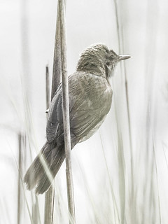 Reed Warbler PP | by Brian Wadie Photographer