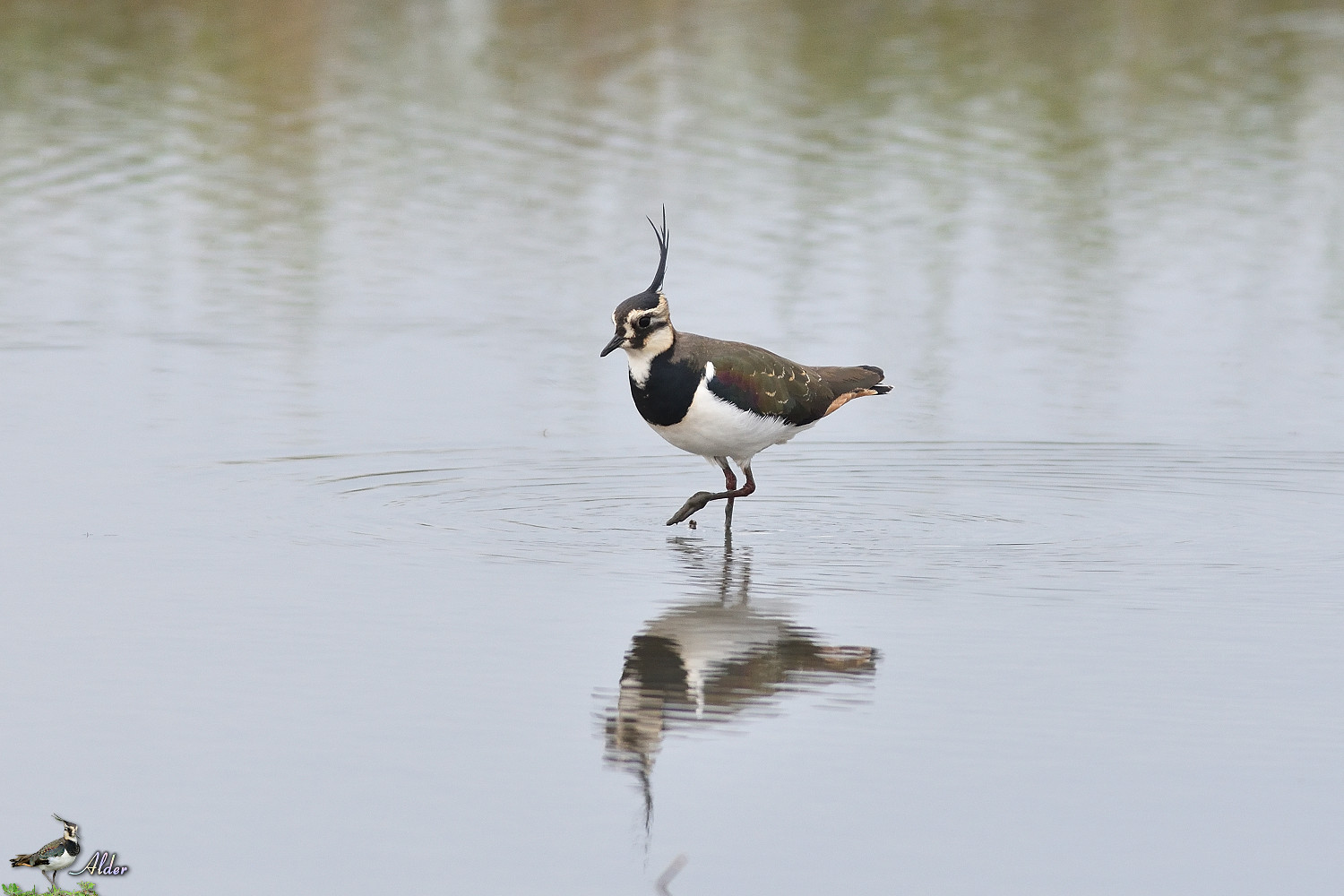 Northern_Lapwing_4840
