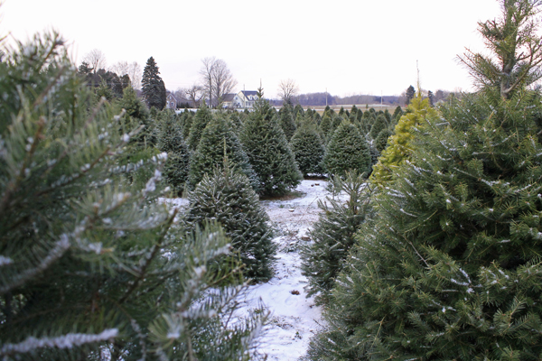 christmas tree farm rochester ny