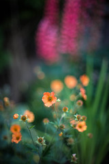 Orange Geum and Lupins