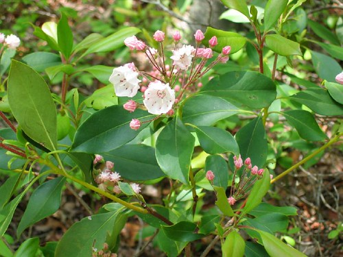 Kalmia latifolia, mountain laurel