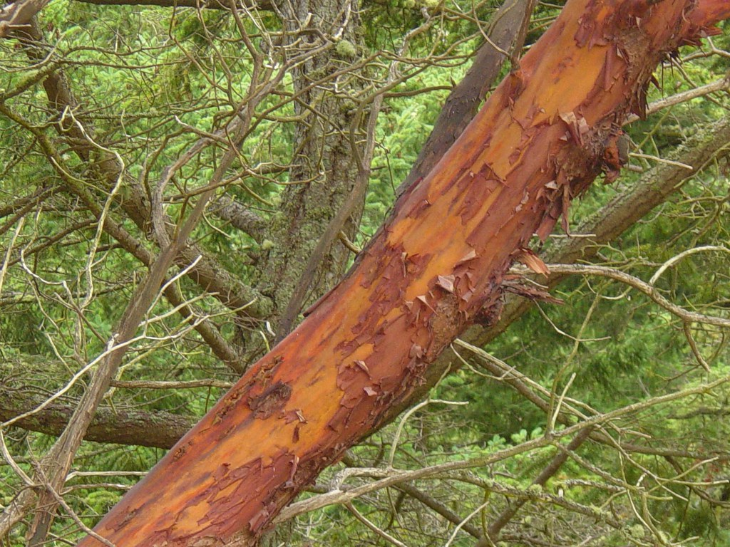 Red Light Camera Map >> Pacific Madrone tree, showing red and brown bark | Pacific M… | Flickr