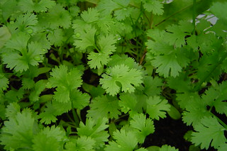 Coriander in a close-up | by Henrique Vicente