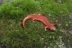 Blue Ridge Red Salamander | by The Horned Jack Lizard