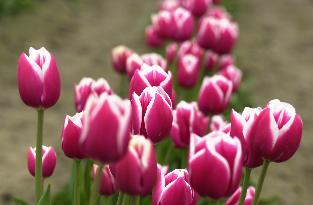 Bunga Bunga Tulip Mohd Jhaznarul Juharul Zaman Flickr