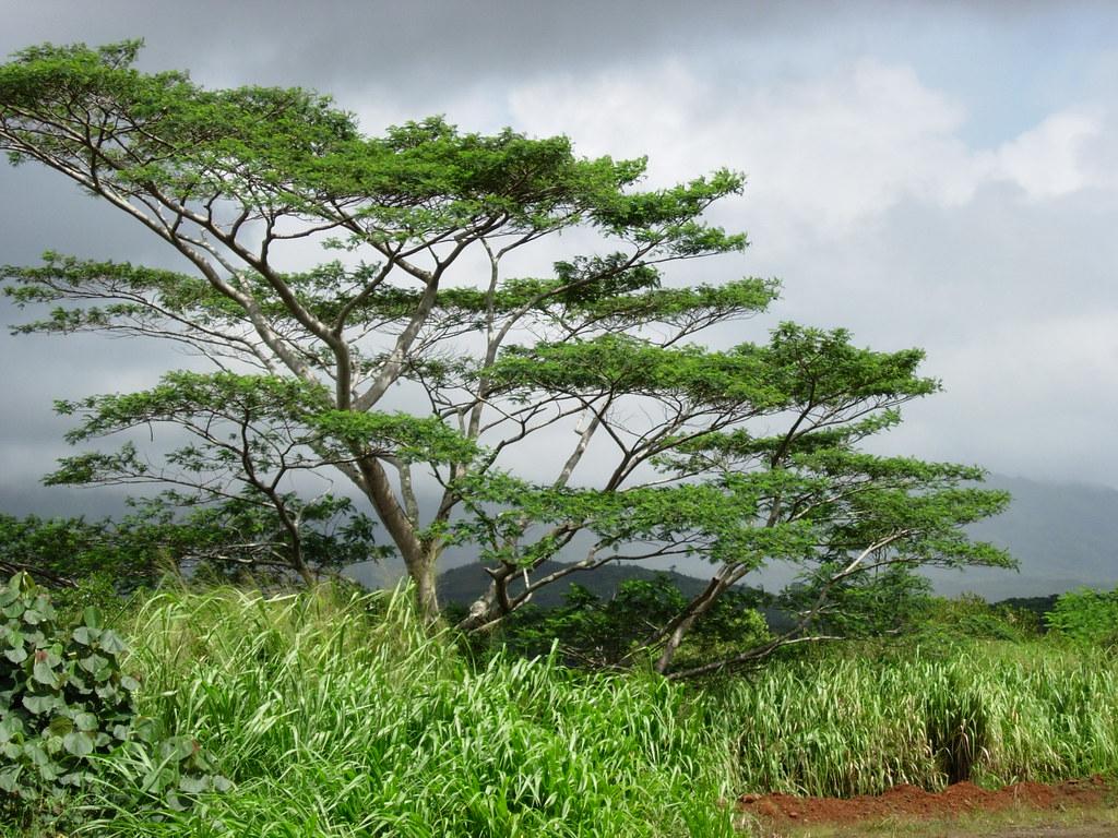 Trees Of Hawaii Big Island