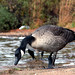 Goose on the Beach