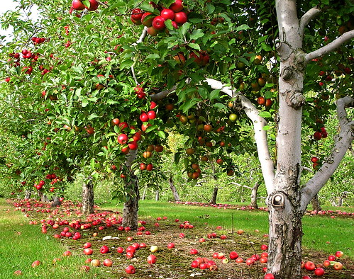 orchard row - liz west - Flickr