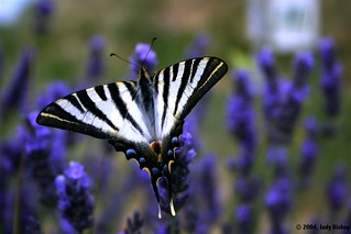 butterflies love Provence lavender | by Judy B - The Travelling Eye