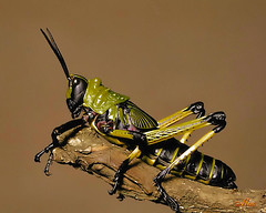 Immature Grasshopper - Macro | by Mc Shutter