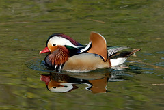 Mandarin Duck | by Beakspeak