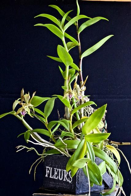 Dendrobium bicaudatum 18323497786_b6540dc6f8_z