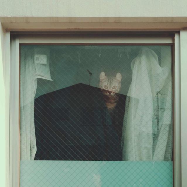 Tabby cat hiding behind curtain