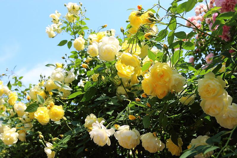Rose:ブライス・スピリット