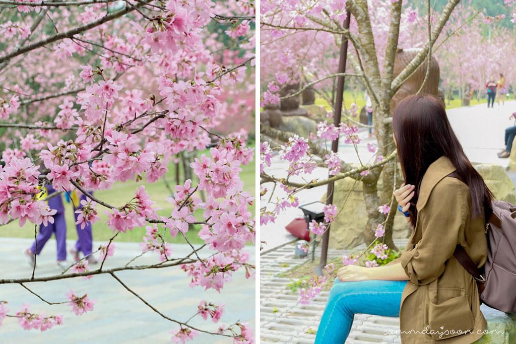 cherry-blossom-taiwan