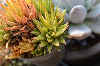 DSC_5037 Haworhtia margaritifera f. variegata ハオルチア 金城