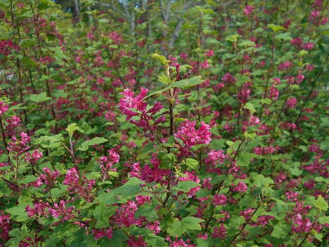 Ruusuherukan (Ribes sanguineum) kukintaa 30.5.2015 Meilahden arboretum Helsinki