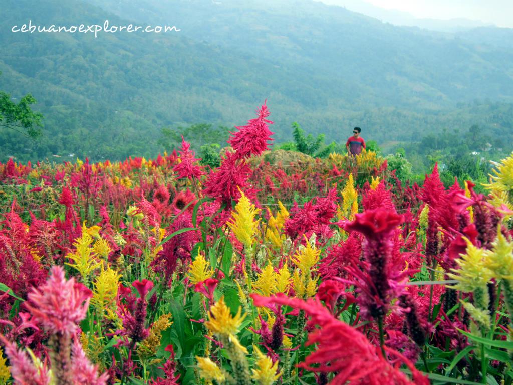 Celosia Flower Farm In Sirao Cebu Cebuano Xplorer