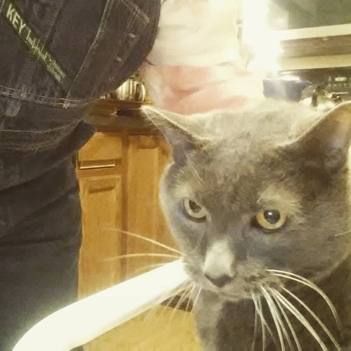 Lester visited while I was making dinner #Lester #catsofinstagram