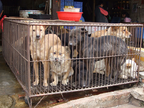 Millions of dogs are slaughtered for their meat in China each year