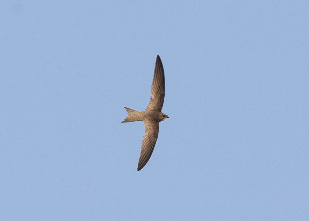Common Swift    Morocco