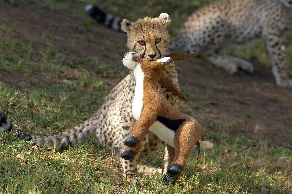 cheetah play toy a plush toy might just be a cheetah cub s flickr