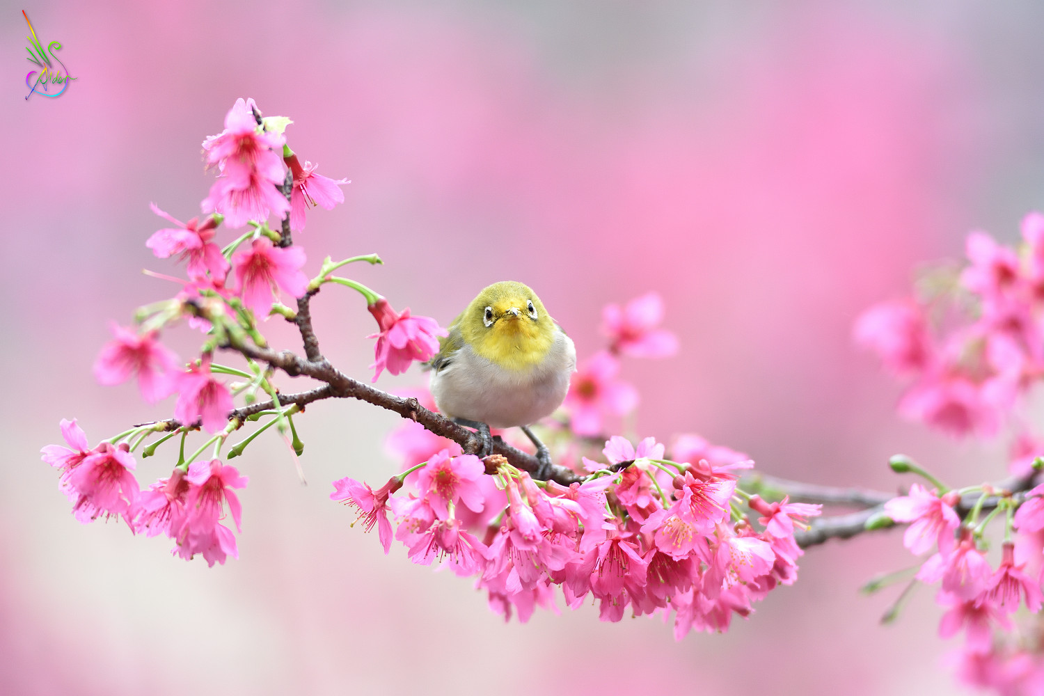 Sakura_White-eye_5941