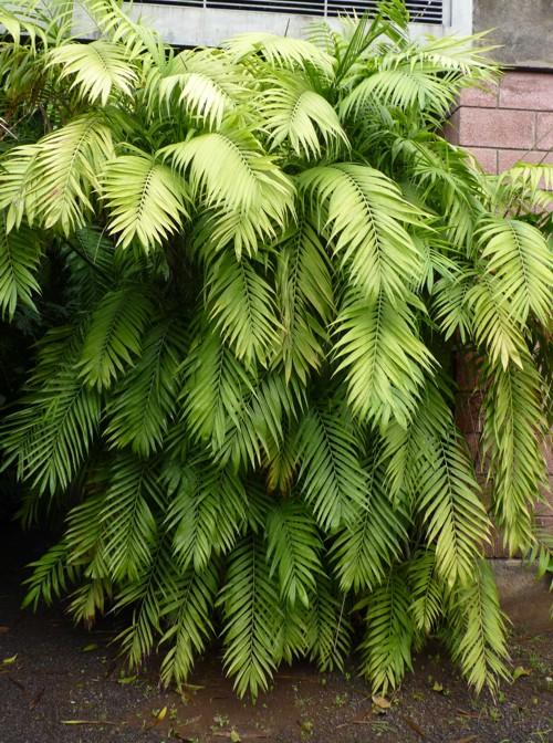 Chamaedorea pochutlensis 18607355189_c6c4e77f1f_o