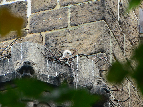 Cathedral Hawk Nestling - 4428