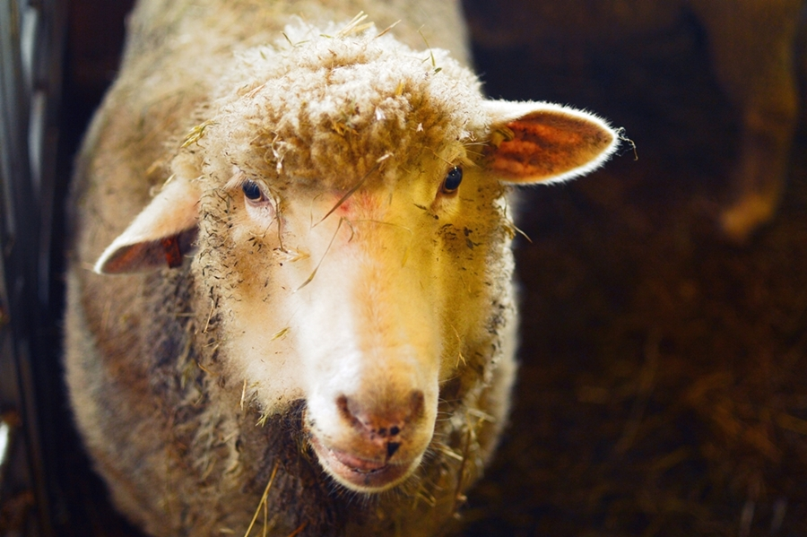 lammas3pieni