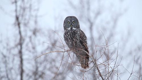 Great Gray Owl - Sax-Zim Bog, Minnesota